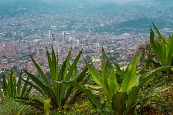 Plantas de fique como parte del proyecto de restauración ecológica y recuperación de suelos, comuna 8 de Medellín